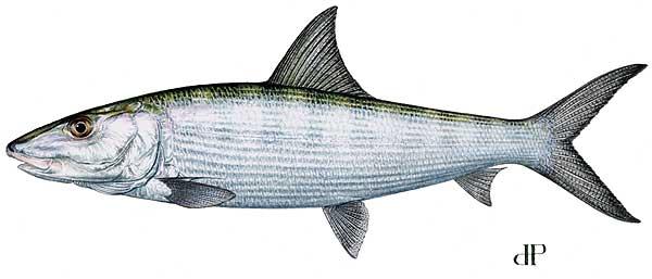 Bonefish2
